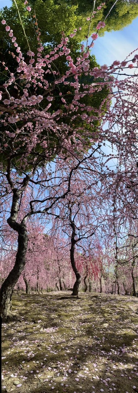 枝垂梅(春の山) 見頃 2021年3月1日 撮影:MKタクシー