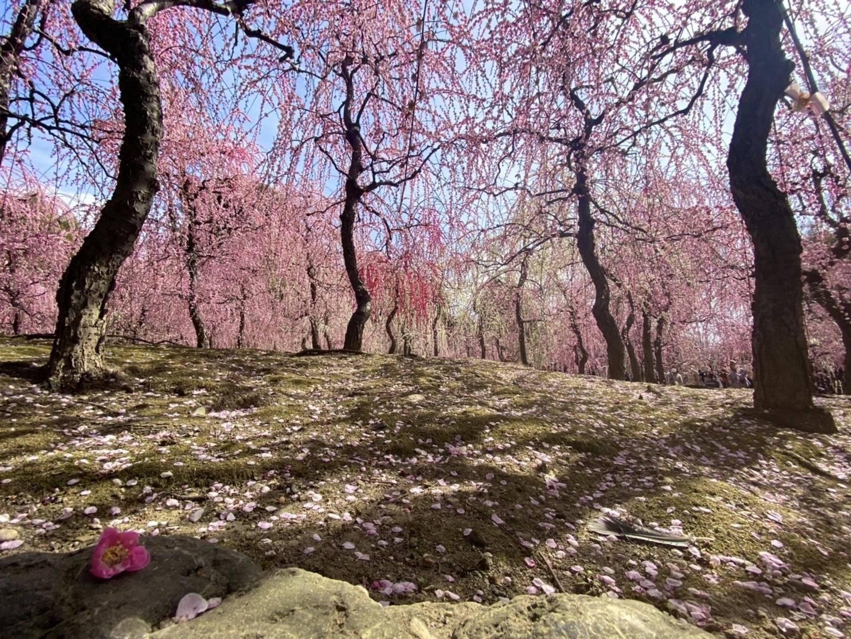 枝垂梅と散り椿(春の山) 見頃 2021年3月1日 撮影:MKタクシー
