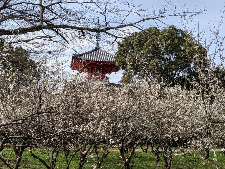 白梅と心経宝塔(大沢池梅林) 五分咲き 2021年3月1日 撮影:MKタクシー