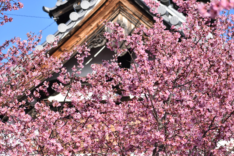 長徳寺 見頃 2021年3月3日 撮影:MKタクシー