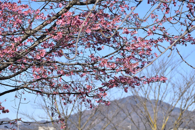 賀茂大橋西詰から比叡山 五分咲き 2021年3月3日 撮影:MKタクシー