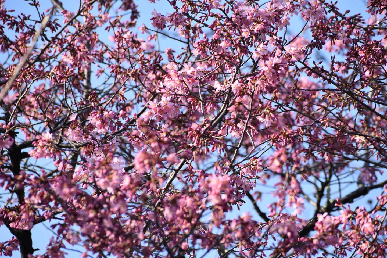 桜苑 五分咲き 2021年3月3日 撮影:MKタクシー