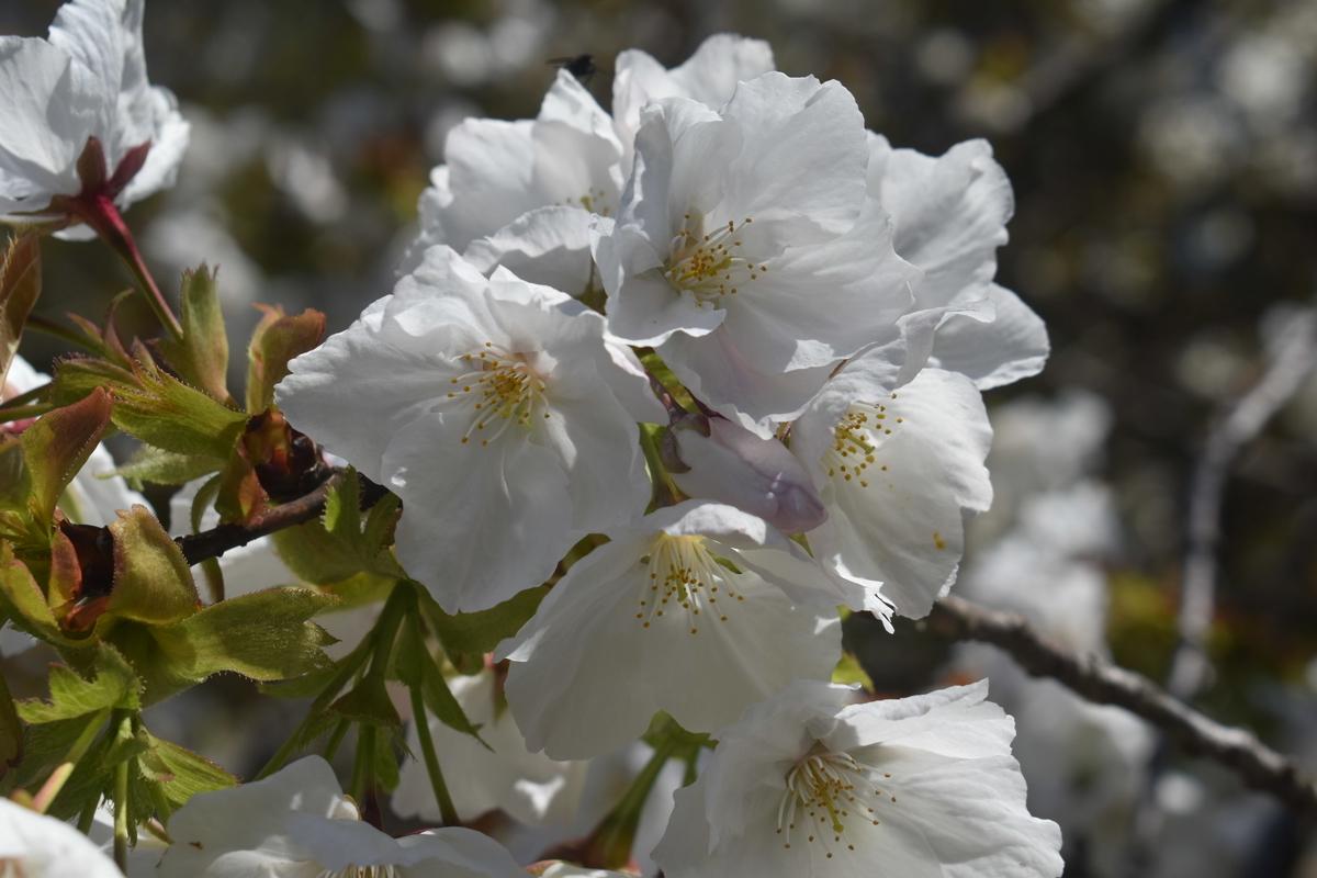 イングラムが再発見した太白(タイハク) 京都府立植物園 2019年4月13日 撮影:MKタクシー