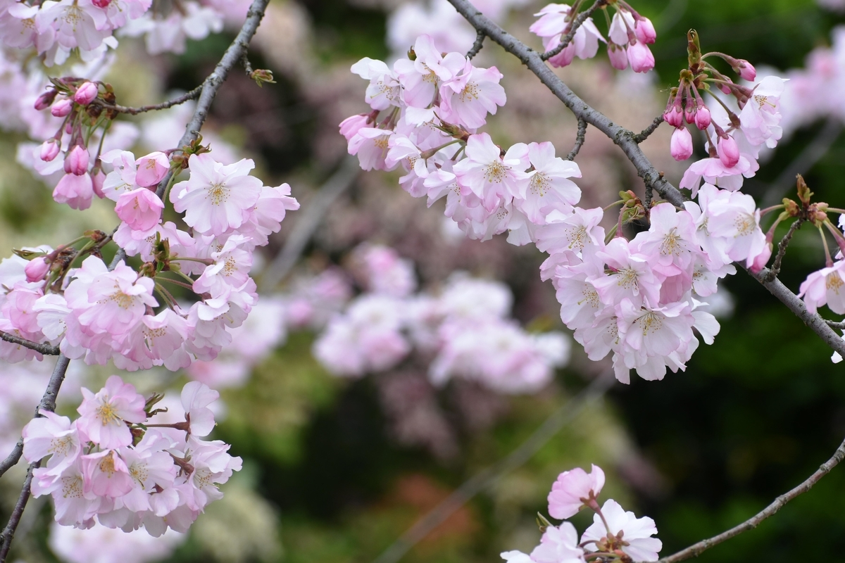 イングラムが作出したアーコレード 宇治市植物公園 2019年3月30日 撮影:MKタクシー