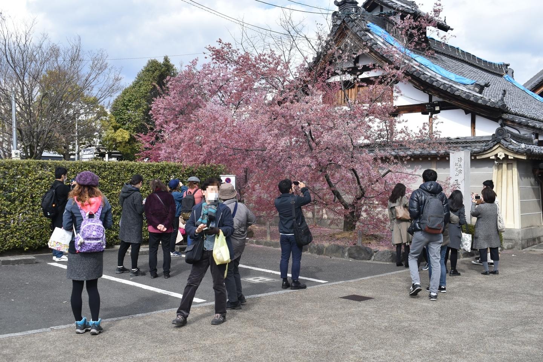 長徳寺に集まる人々 見頃過ぎ 2019年3月24日(平年3月27日相当) 撮影:MKタクシー