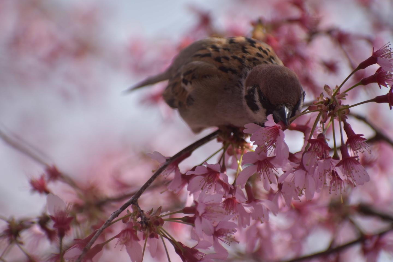 オカメ桜をかみ切るスズメ 見頃過ぎ 2019年3月24日(平年3月27日相当) 撮影:MKタクシー