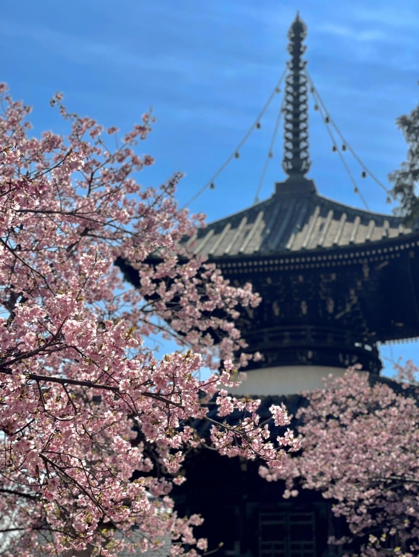 清凉寺の河津桜(多宝塔横) 見頃 2021年3月4日 撮影:MKタクシー