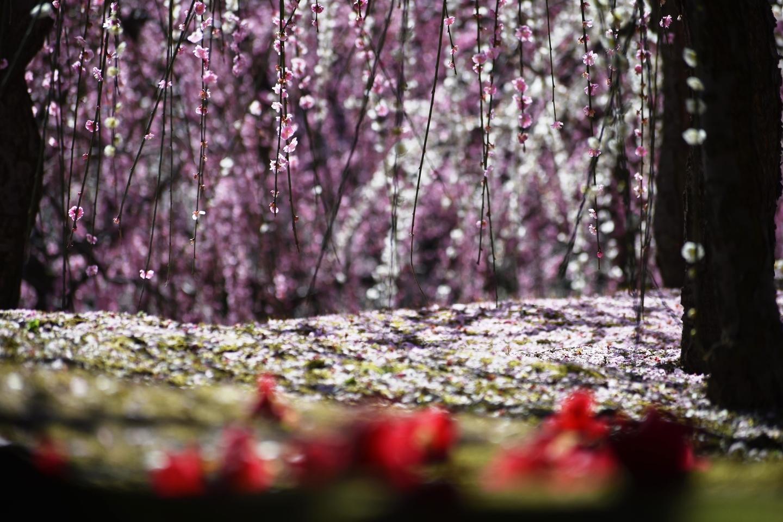 枝垂梅(春の山) 見頃 2020年3月3日 撮影:MKタクシー
