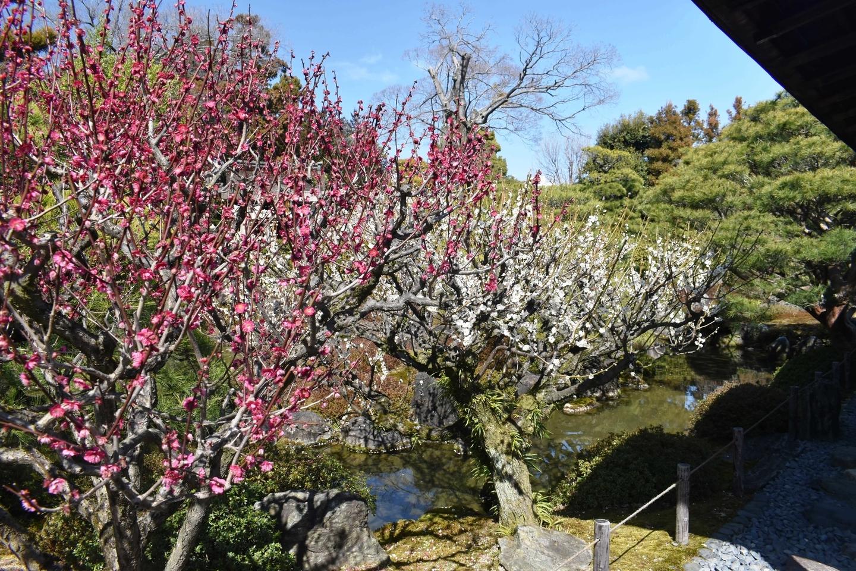 梅(室町の庭) 見頃 2020年3月3日 撮影:MKタクシー
