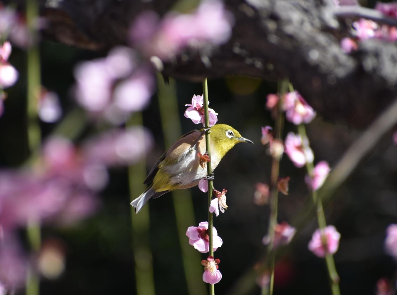 枝垂梅とメジロ(春の山) 見頃 2020年3月3日 撮影:MKタクシー