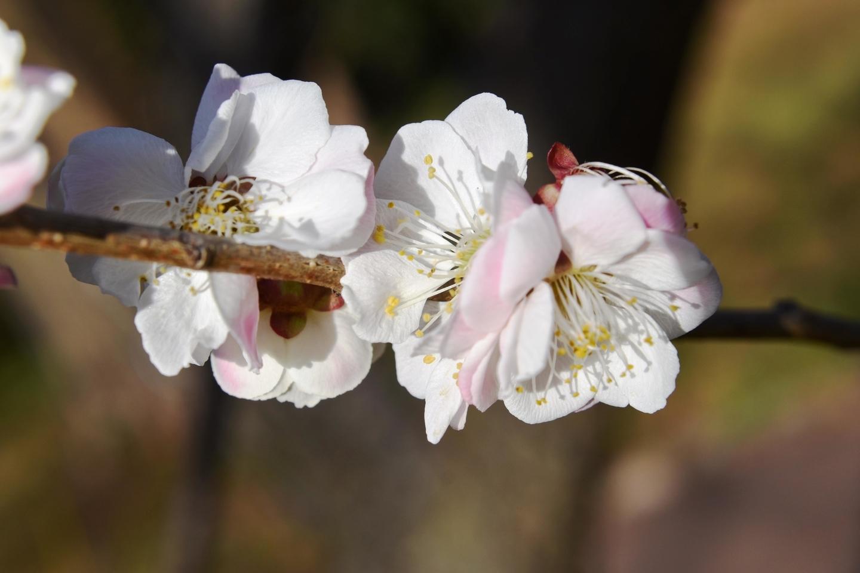 栖鶯(梅林) 五分咲き 2021年3月3日 撮影:MKタクシー