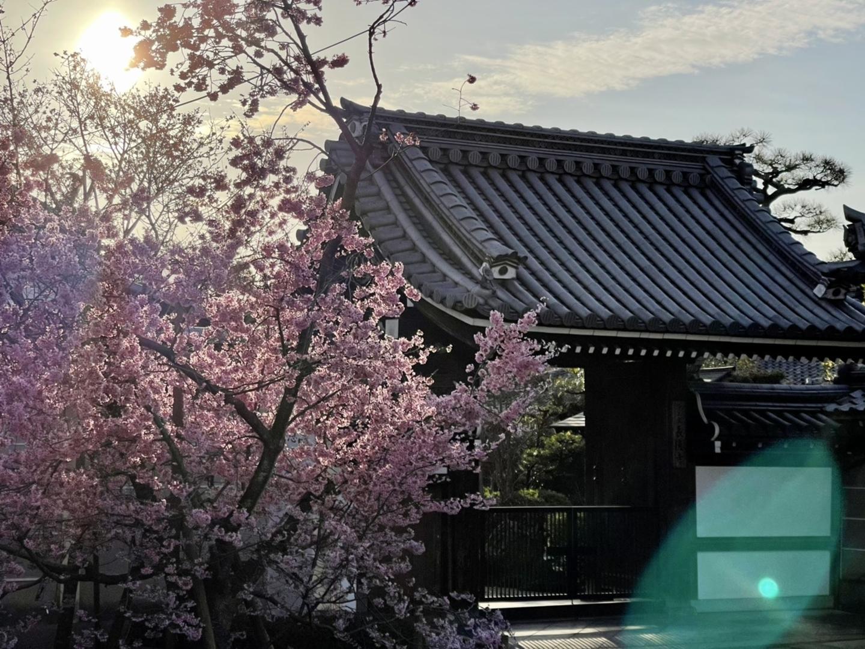長徳寺のオカメ桜 見頃 2021年3月7日 撮影:MKタクシー