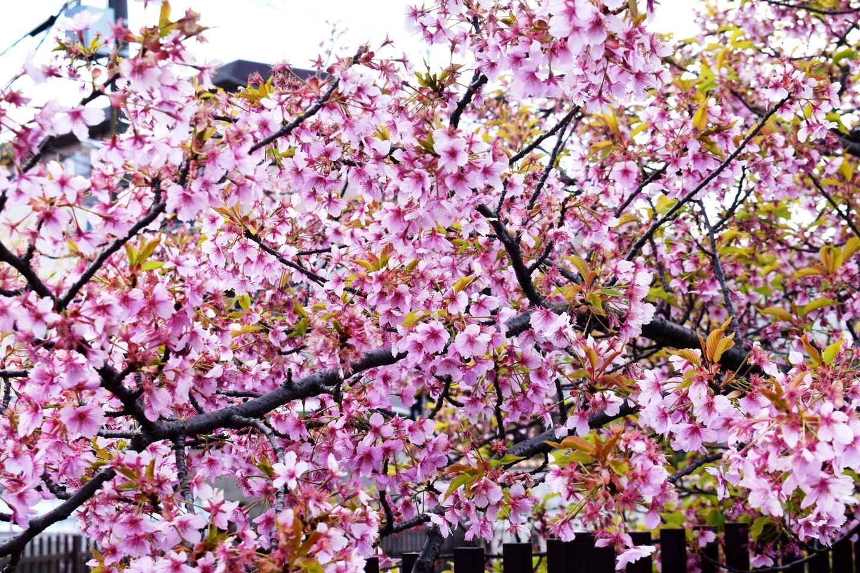 淀水路 終わり近し 2020年3月20日(平年3月27日相当) 撮影:MKタクシー