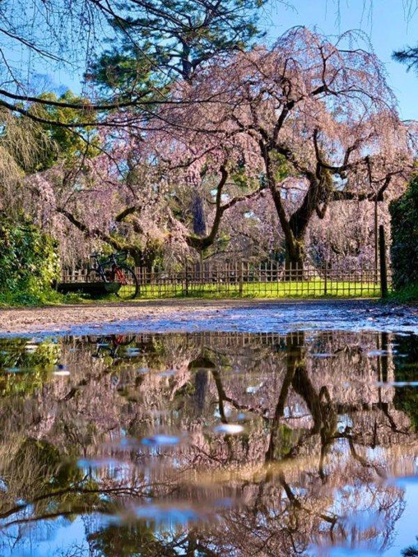 水たまりに映った糸桜(枝垂桜) 五分咲き 2020年3月17日(平年3月25日相当) 撮影:MKタクシー