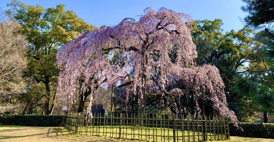 出水の枝垂桜(賀陽宮邸跡) 見頃 2020年3月17日(平年3月25日相当) 撮影:MKタクシー