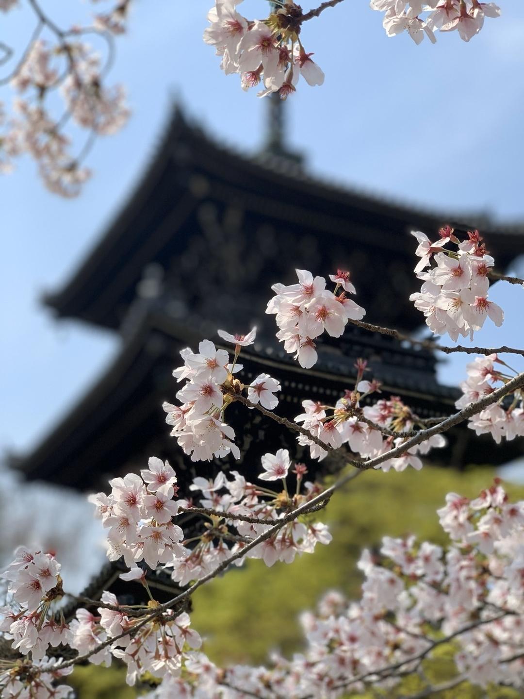 ソメイヨシノ(三重塔) 見頃 2020年4月3日(平年4月8日相当) 撮影:MKタクシー