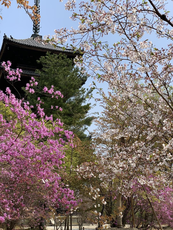 桜とミツバツツジ(五重塔) 散りはじめ 2020年4月8日 撮影:MKタクシー