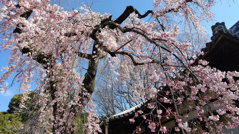 枝垂桜(霊宝館) 見頃 2020年3月25日(平年3月31日相当) 撮影:MKタクシー