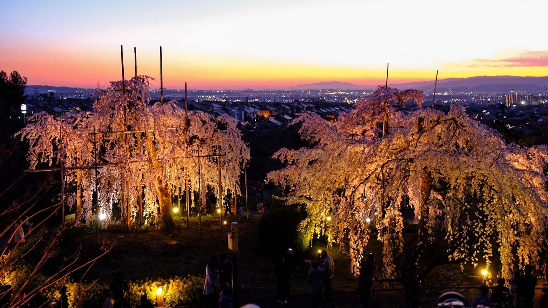 夕暮れと枝垂桜ライトアップ 見頃 2020年3月25日(平年3月31日相当) 撮影:MKタクシー
