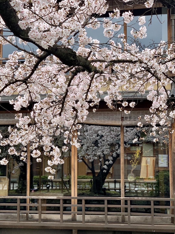 ソメイヨシノ 見頃 2020年3月30日(平年4月5日相当) 撮影:MKタクシー
