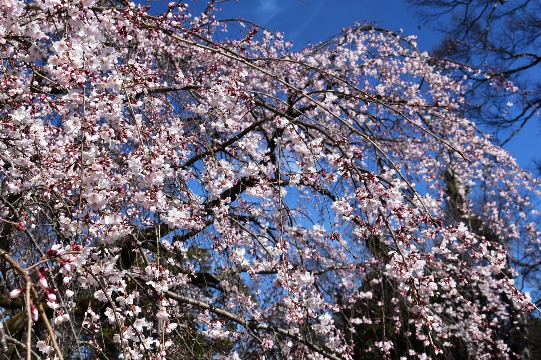 糸桜(枝垂桜) 三分咲き 2021年3月11日(平年3月22日相当) 撮影:MKタクシー