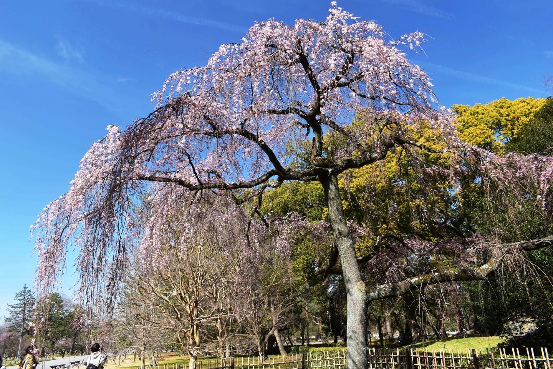 出水の枝垂桜 三分咲き 2021年3月11日(平年3月22日相当) 撮影:MKタクシー