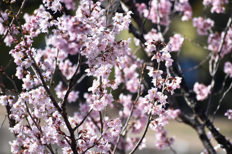 啓翁桜(鳴子門) 見頃 2021年3月11日(平年3月22日相当) 撮影:MKタクシー