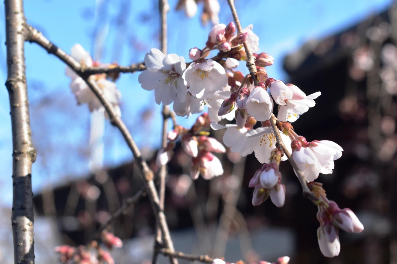 魁桜(神門前) ちらほら 2021年3月11日(平年3月22日相当) 撮影:MKタクシー