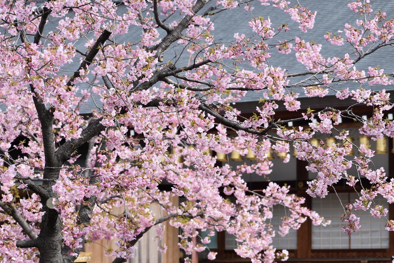 河津桜(大日堂前) 見頃 2021年3月4日(平年3月19日相当) 撮影:MKタクシー