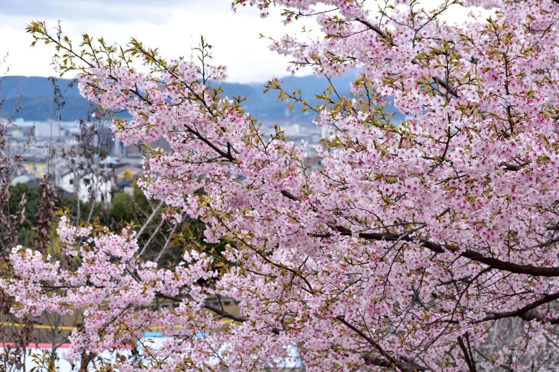 大漁桜(春のゾーン) 見頃 2021年3月13日(平年3月24日相当) 撮影:MKタクシー