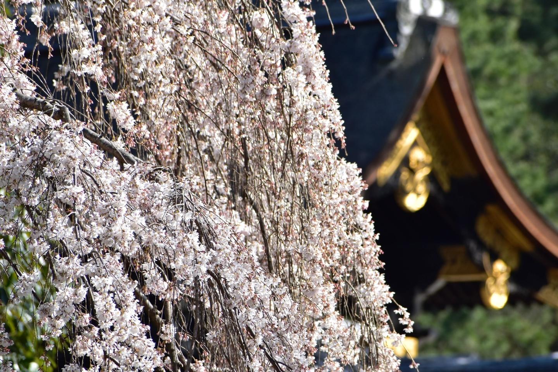 近衛邸跡の糸桜 三分咲き 2021年3月13日 撮影:MKタクシー
