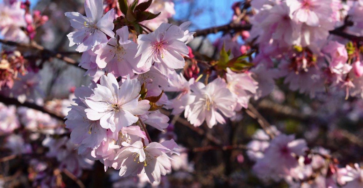 御会式桜 見頃 2010年3月25日(平年3月31日相当) 撮影:MKタクシー