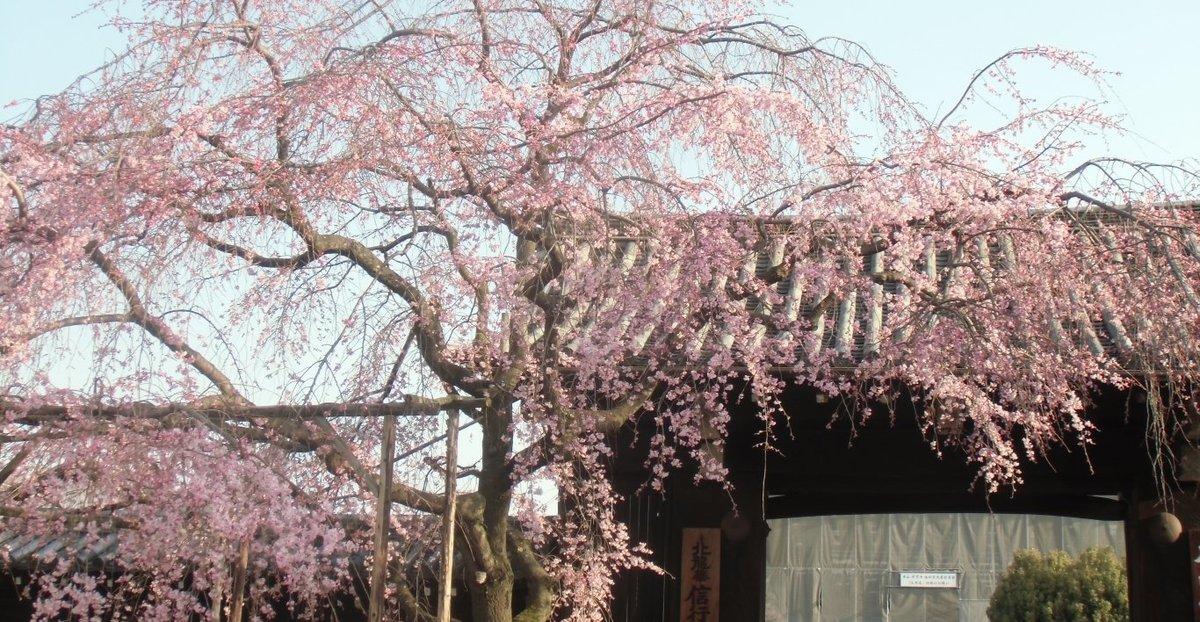 枝垂桜 五分咲き 2014年3月28日(平年3月30日相当) 撮影:MKタクシー