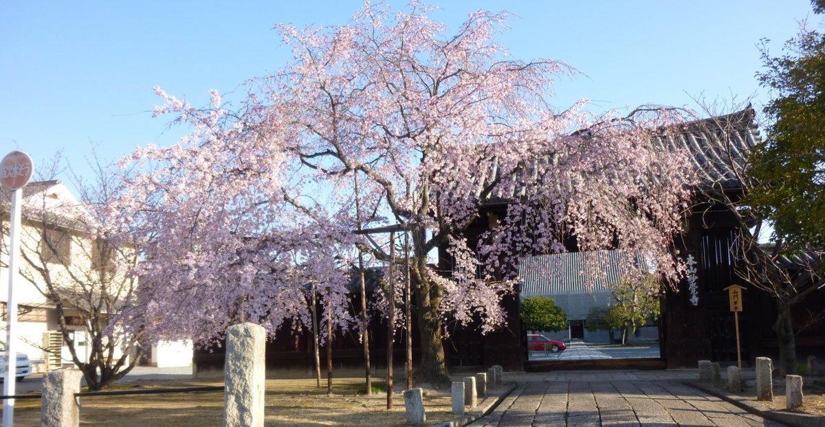 枝垂桜 見頃 2011年4月4日(平年4月2日相当) 撮影:MKタクシー