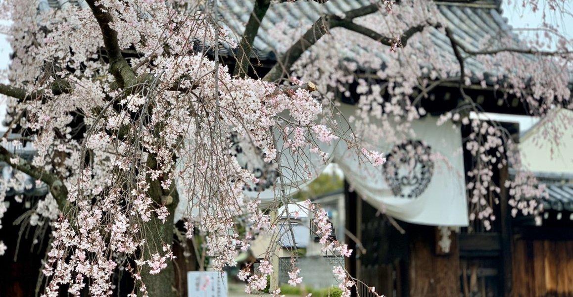 枝垂桜 見頃 2020年3月30日(平年4月5日相当) 撮影:MKタクシー