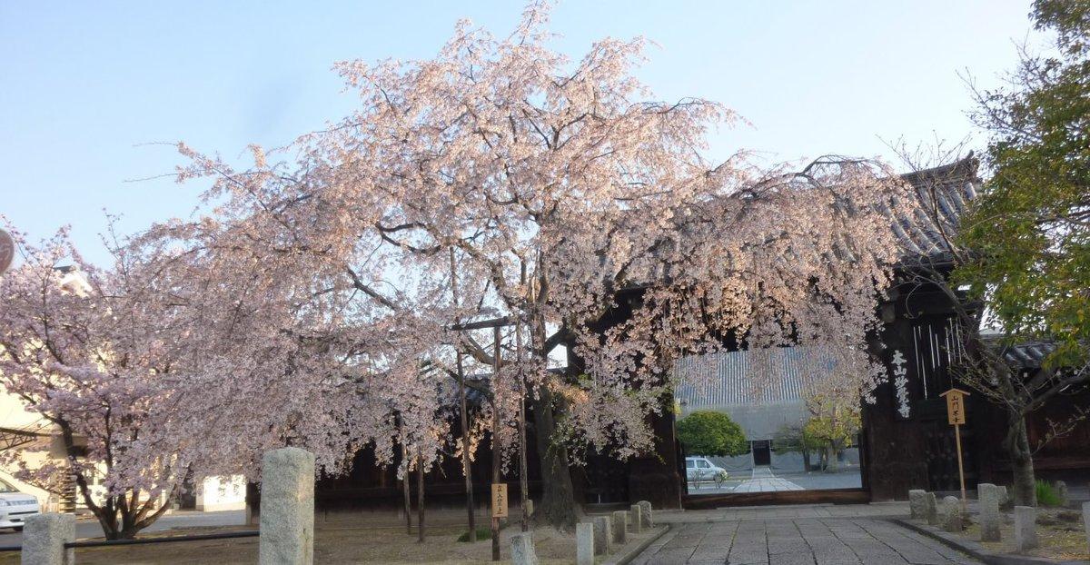 枝垂桜 見頃過ぎ 2011年4月14日(平年4月11日相当) 撮影:MKタクシー
