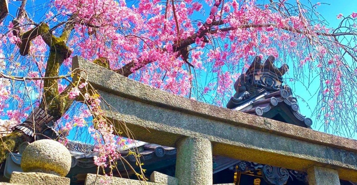 八重紅枝垂桜 見頃 2019年4月12日(平年4月11日相当) 撮影:MKタクシー
