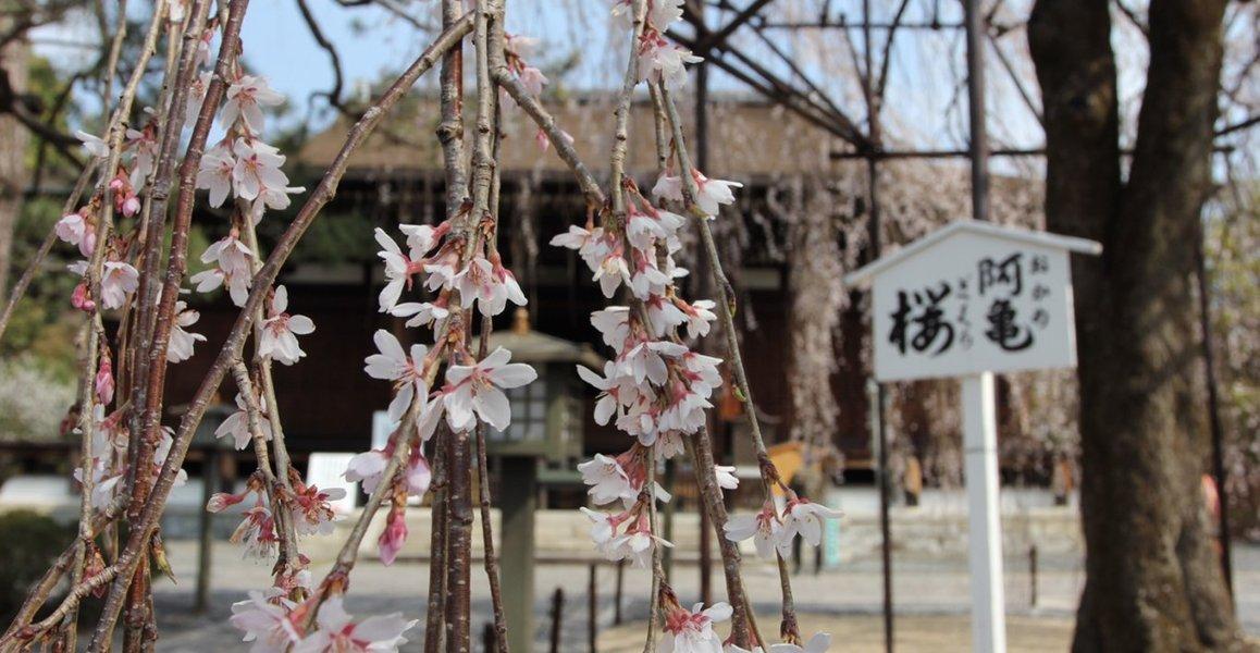 阿亀桜 終わり近し 2019年4月6日(平年4月7日相当) 撮影:MKタクシー