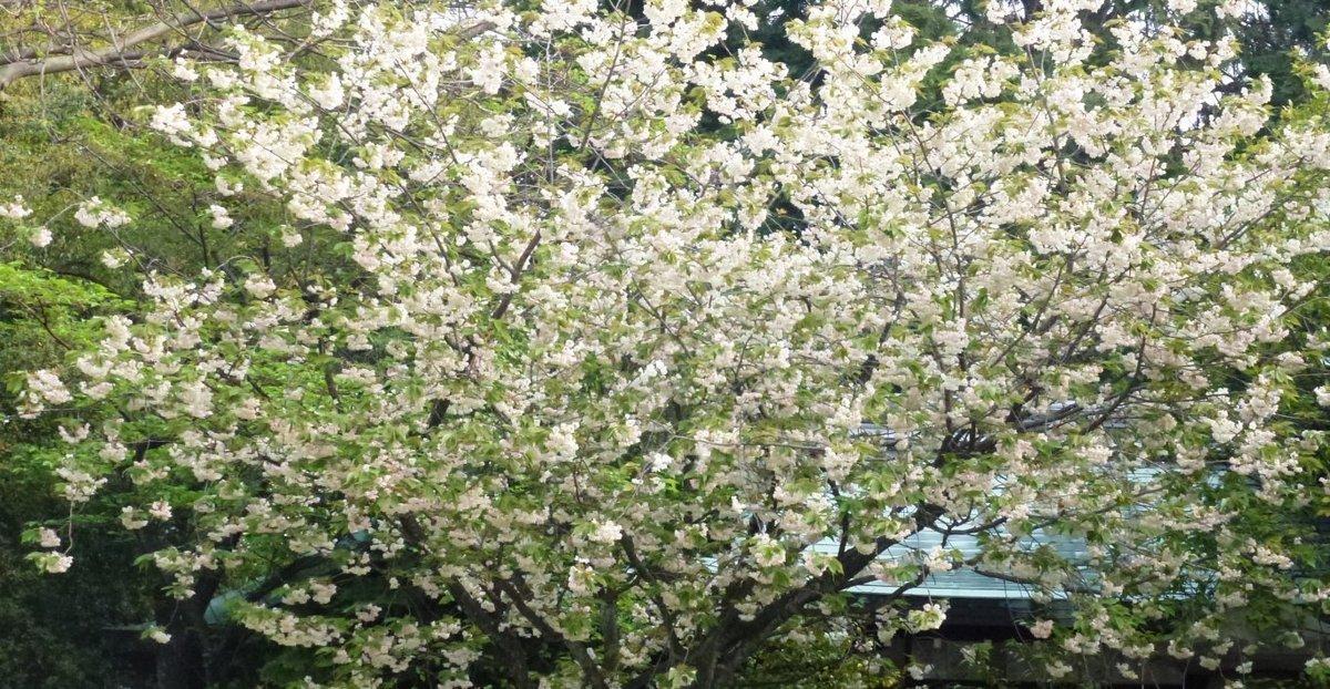 鬱金 散りはじめ 2012年4月24日(平年4月23日相当) 撮影:MKタクシー