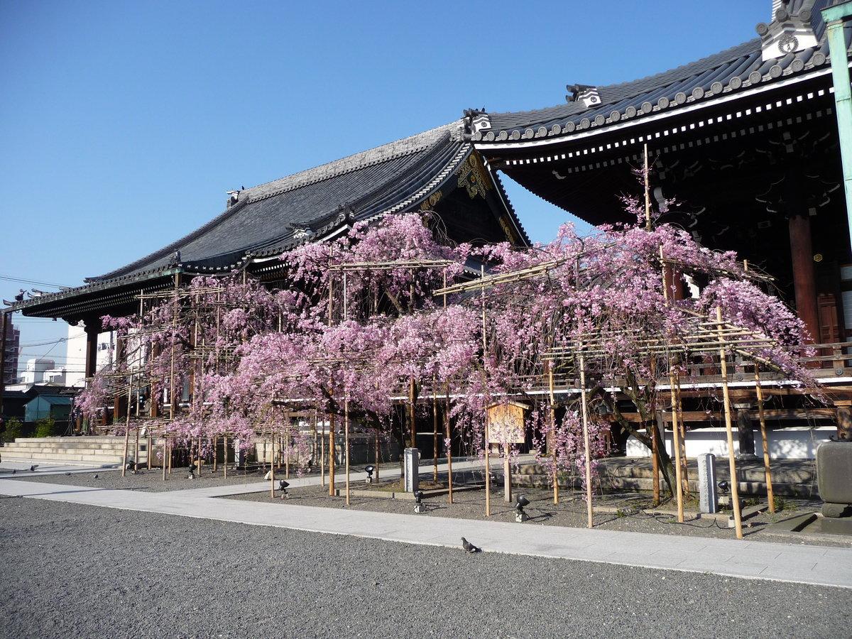八重紅枝垂桜 五分咲き 2009年4月9日(平年4月7日相当) 撮影:MKタクシー
