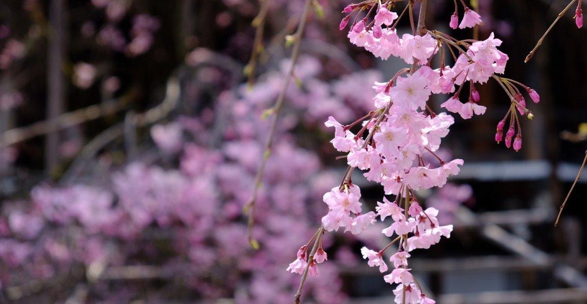 八重紅枝垂桜 五分咲き 2020年4月3日(平年4月8日相当) 撮影:MKタクシー