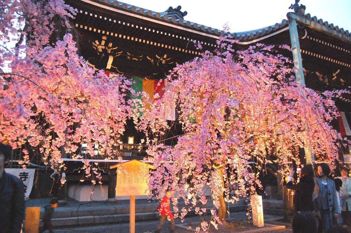 八重紅枝垂桜 見頃 2008年4月5日(平年4月9日相当) 撮影:MKタクシー