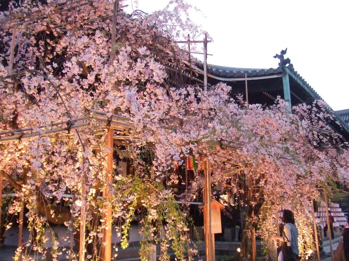 八重紅枝垂桜 見頃 2009年4月11日(平年4月8日相当) 撮影:MKタクシー