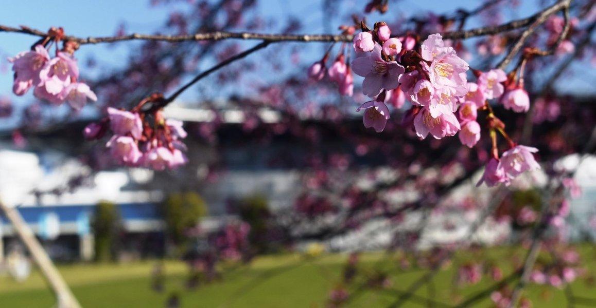 オオヤマザクラ 五分咲き 2019年3月18日(平年3月23日相当) 撮影:MKタクシー