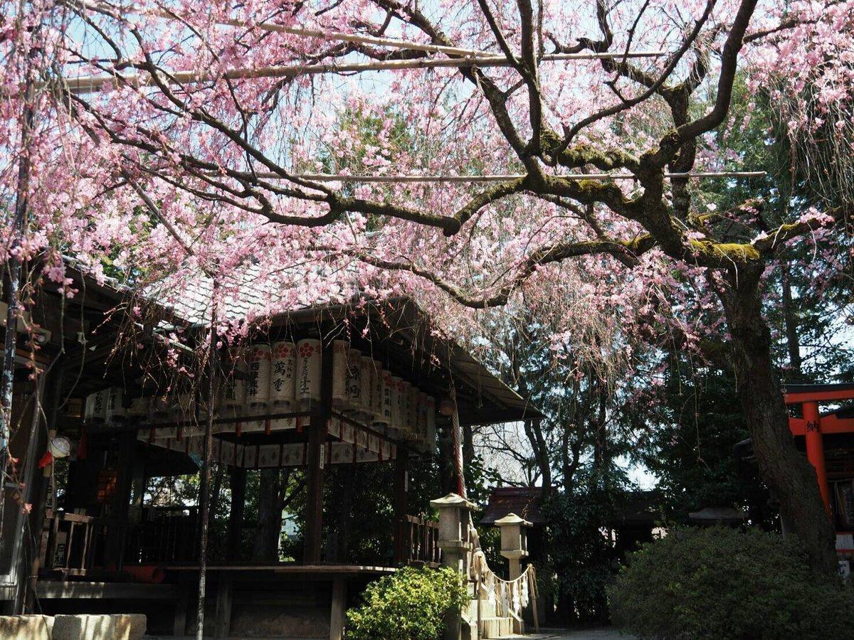紅枝垂桜 見頃 2017年4月4日(平年4月2日相当) 撮影:MKタクシー
