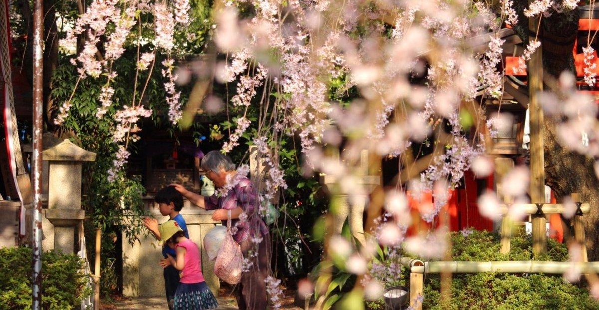 八重紅枝垂桜 見頃 2018年4月4日(平年4月14日相当) 撮影:MKタクシー