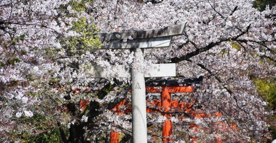 ソメイヨシノ 見頃 2019年4月13日(平年4月12日相当) 撮影:MKタクシー