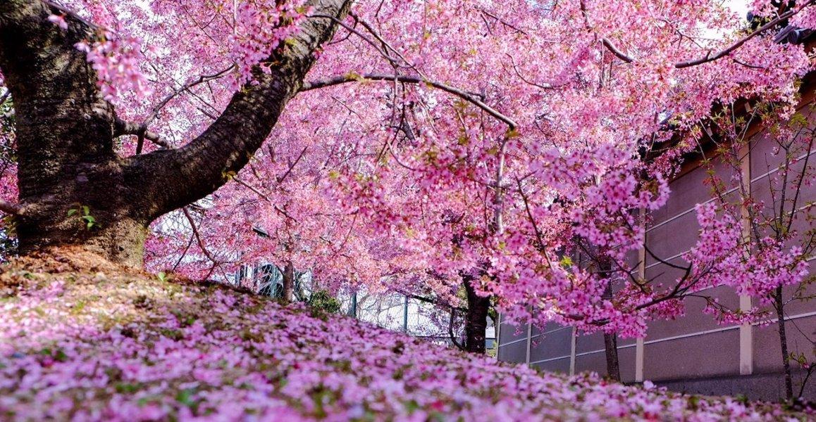 オカメ桜 散りはじめ 2019年3月24日(平年3月27日相当) 撮影:MKタクシー
