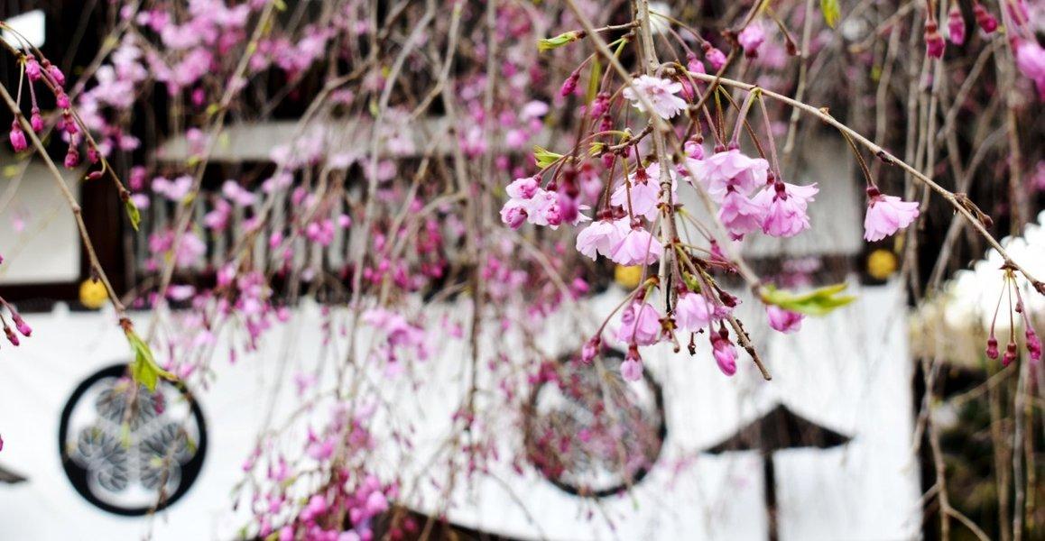 八重紅枝垂桜 咲きはじめ 2020年4月2日(平年4月7日相当) 撮影:MKタクシー