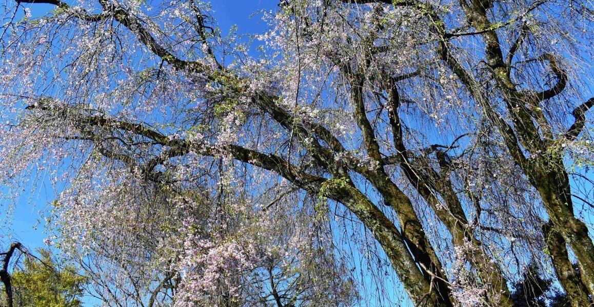 八重紅枝垂桜 散りはじめ 2019年4月16日(平年4月15日相当) 撮影:MKタクシー